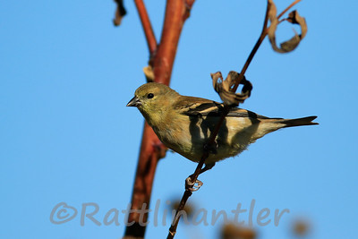 American Goldfinch - Winter Plumage