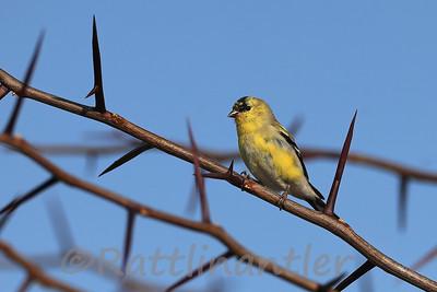 American Goldfinch ♂