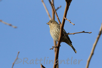 House Finch ♀