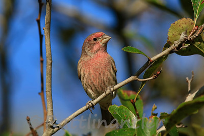 House Finch ♂