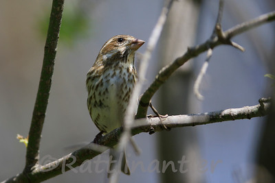 Purple Finch ♀