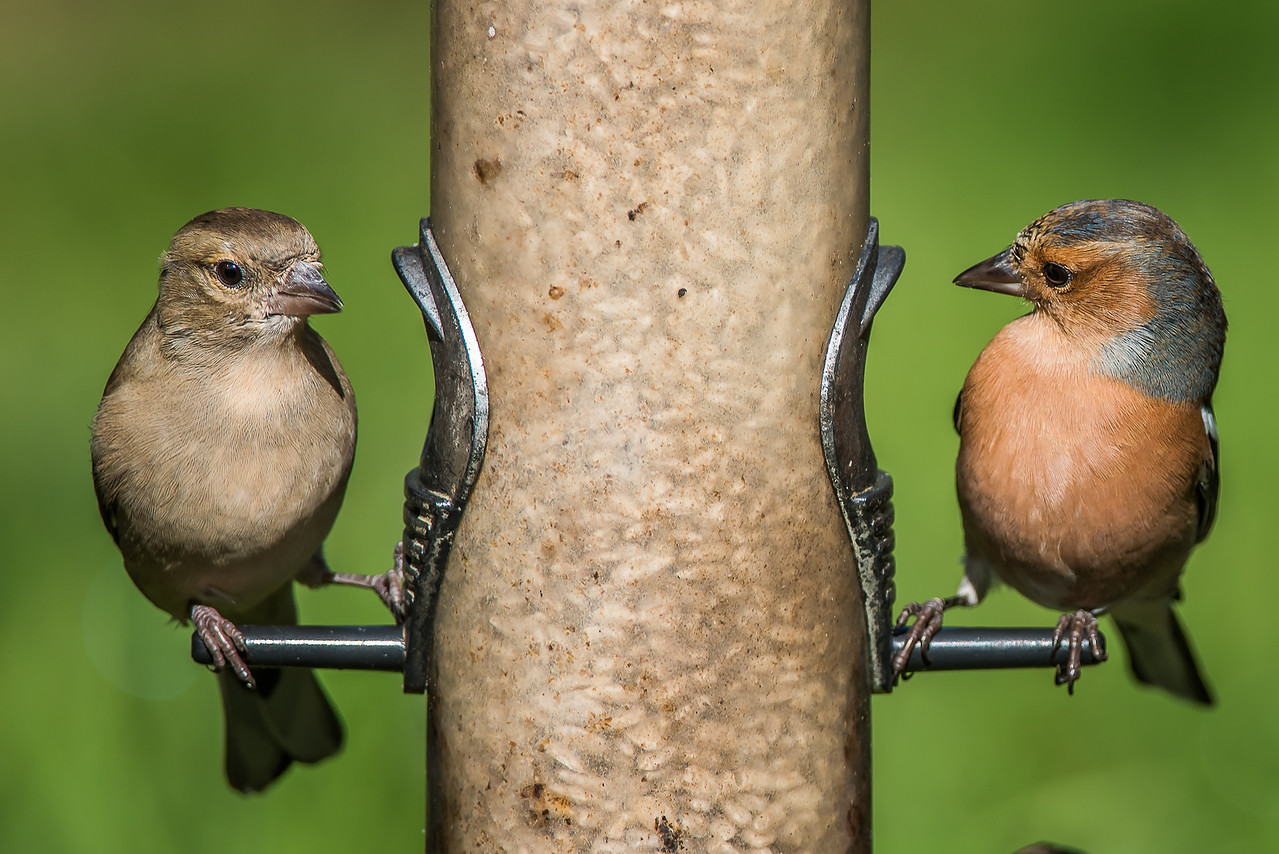 Male and Female Chaffinch