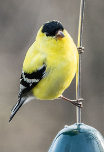 American Goldfinch Belleville