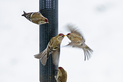Common Redpolls (Belleville)