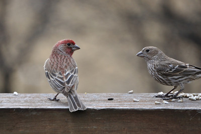 House Finch (male and female)