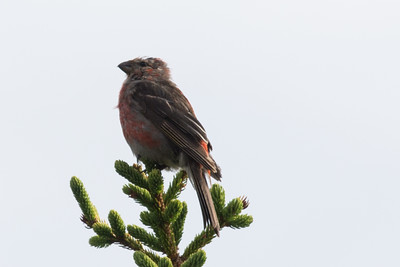Pine Grosbeak - Little Barasway