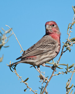 House Finch, Bosque Del Apache National Wildlife Refuge, NM