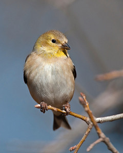 Gold Finch, Wichita Mountains Wildlife Refuge, OK