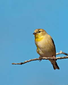 Gold Finch, Wichita Mountains Wildlife Refuge, OK