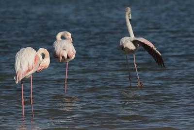 Flamingoes. see original size