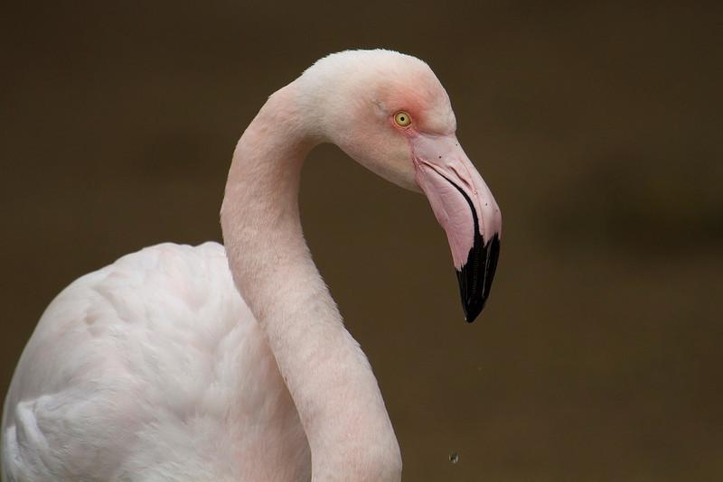 Flamingo. Flamenco.