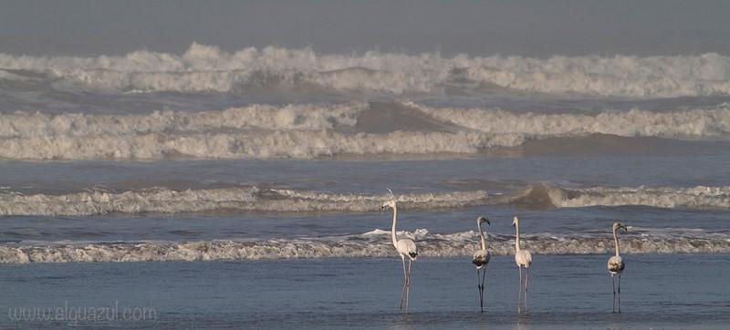 Flamencos en la playa (recortada a apaisada)