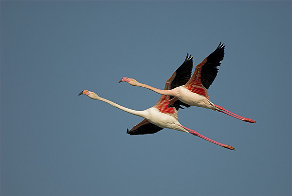 Flying flamingoes (Phoenicopterus ruber)