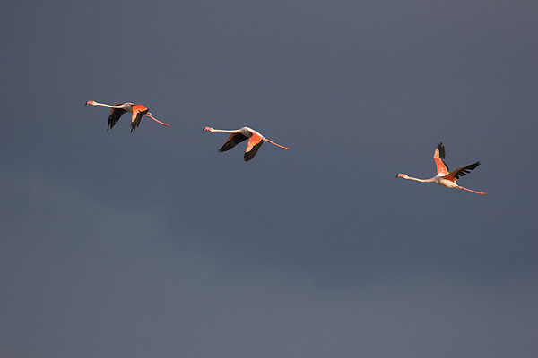 Flying flamingoes