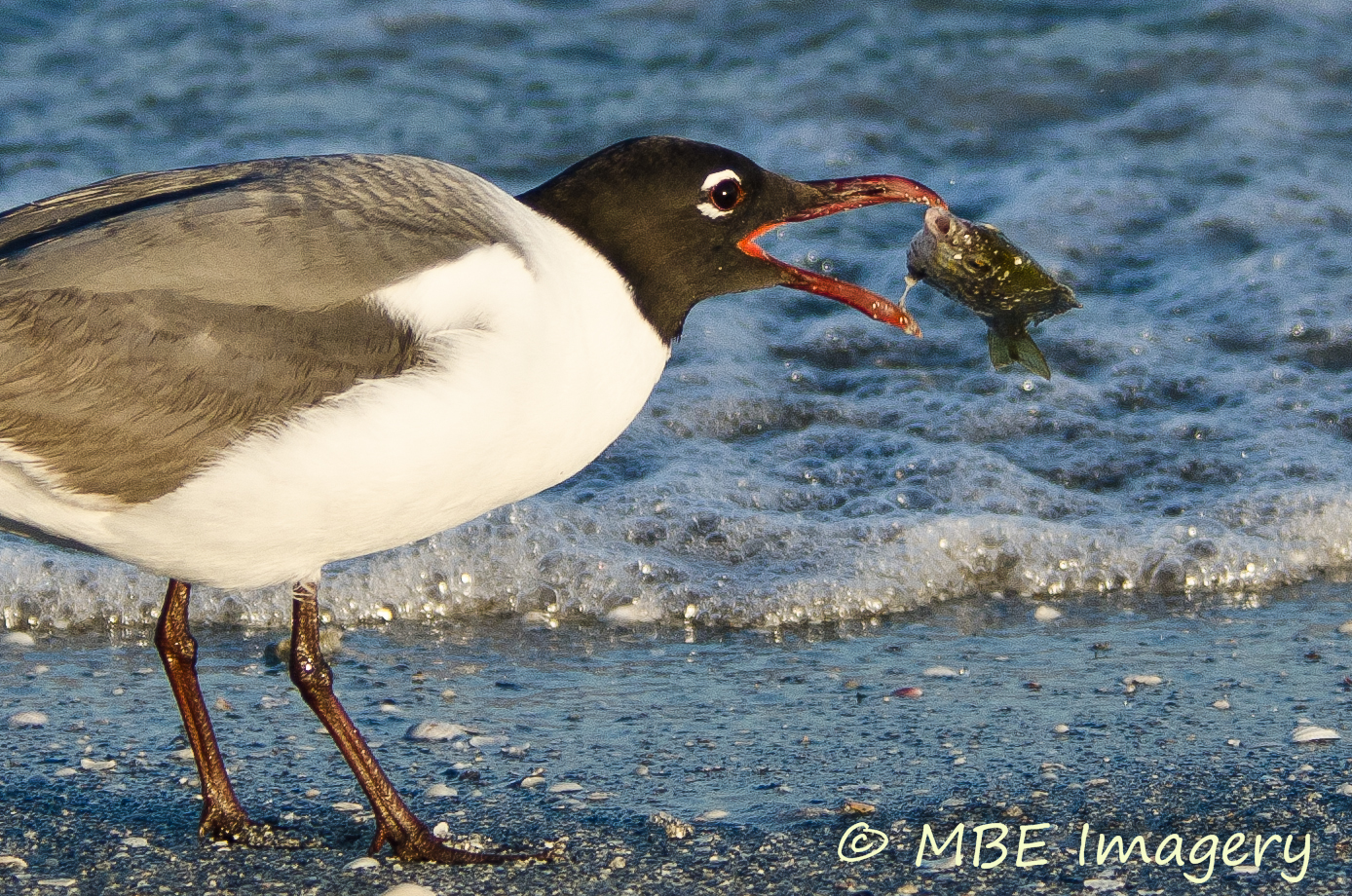 Laughing Gull fishing