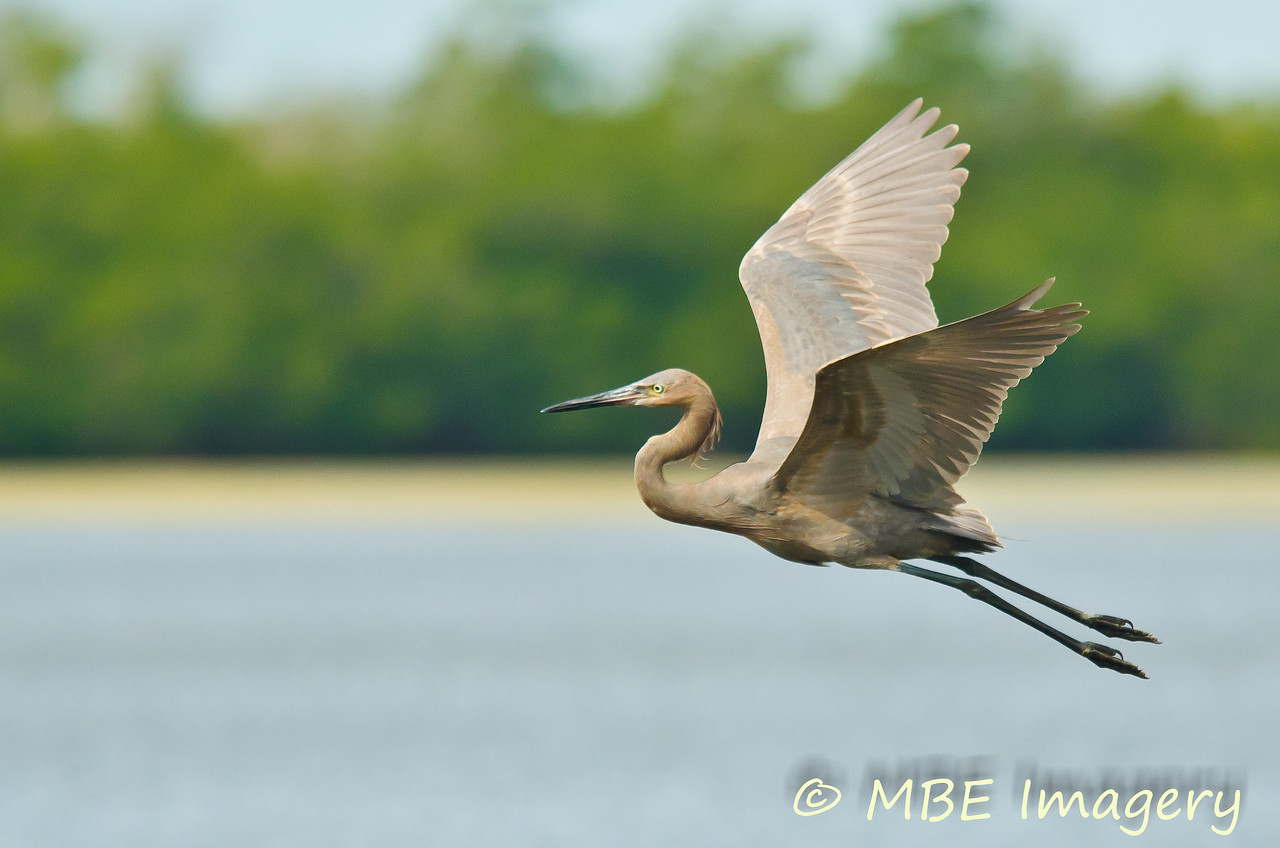 Reddish Egret in flight