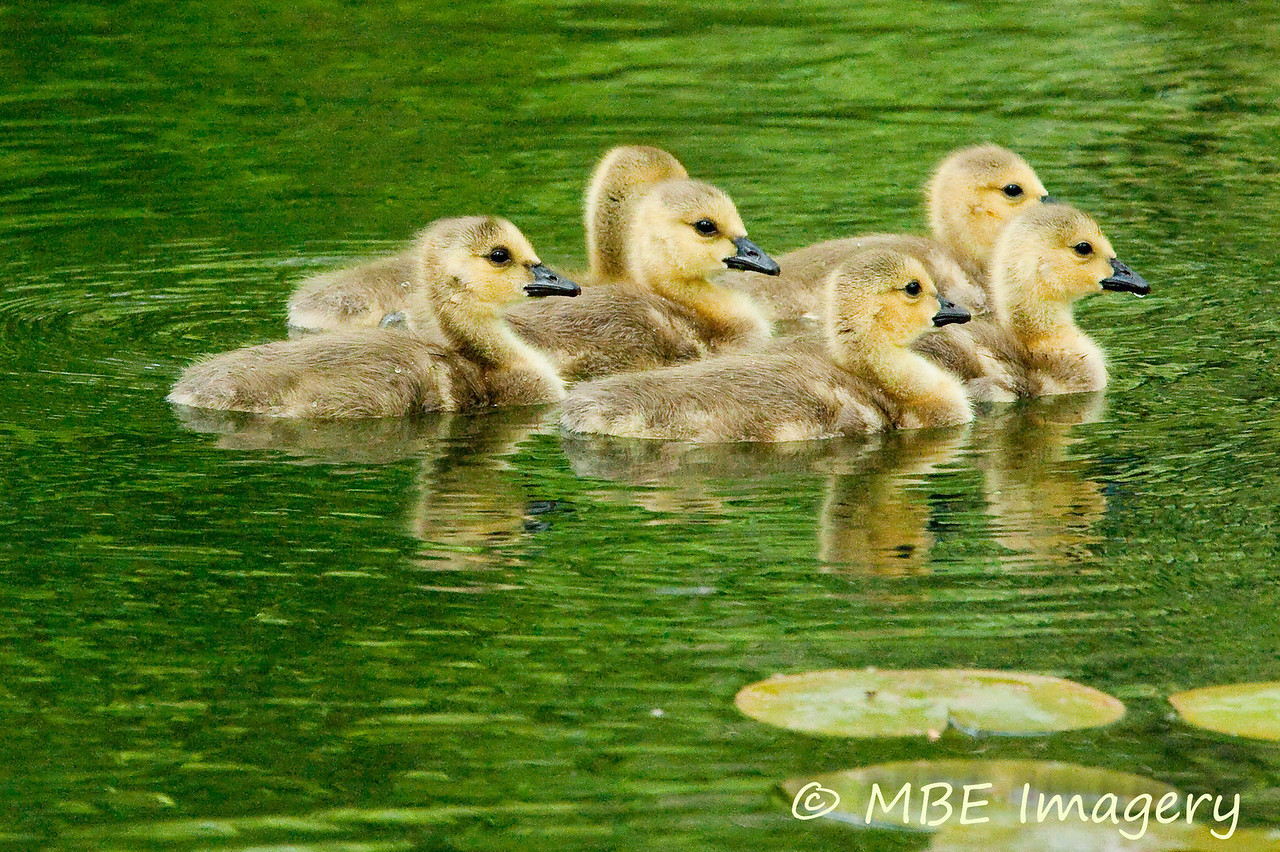 Six little goslings