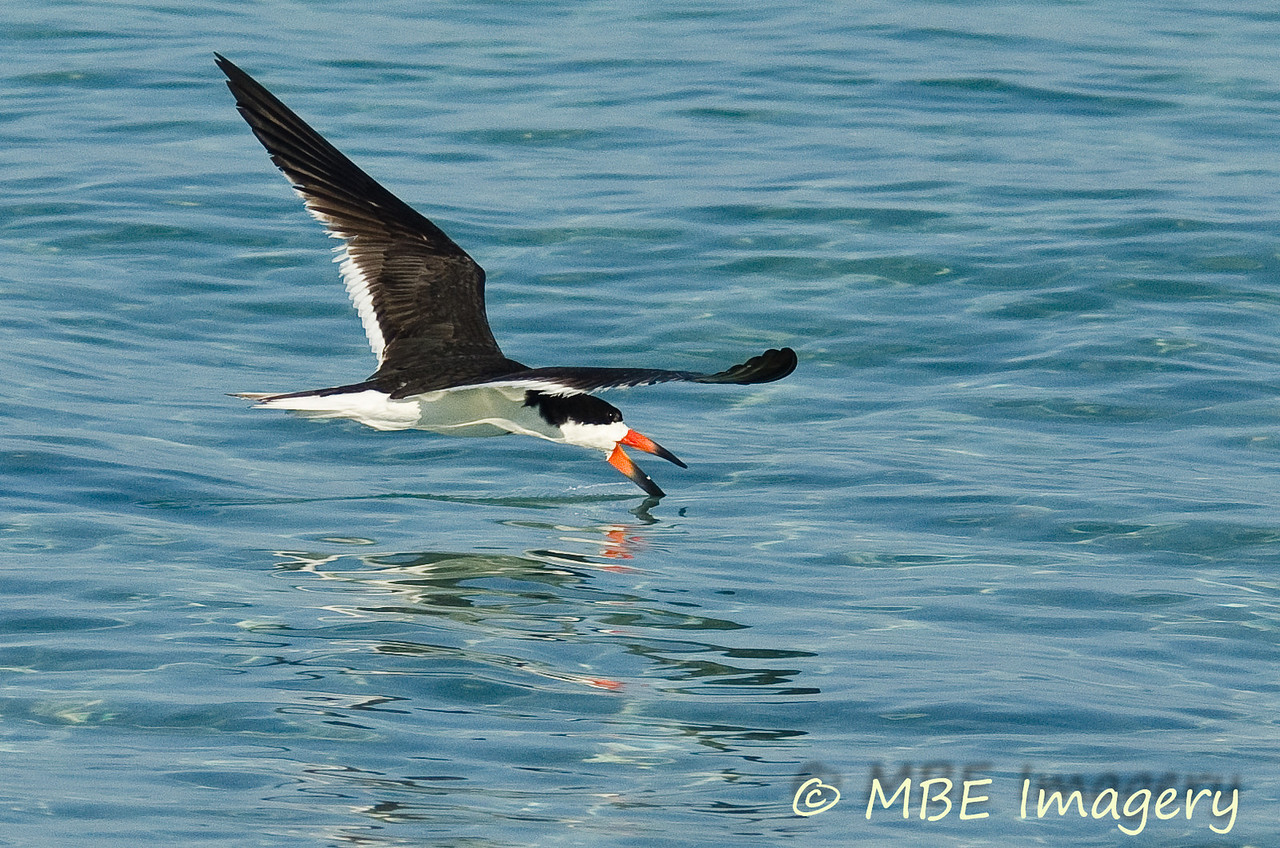 Black Skimmer at Sand Key