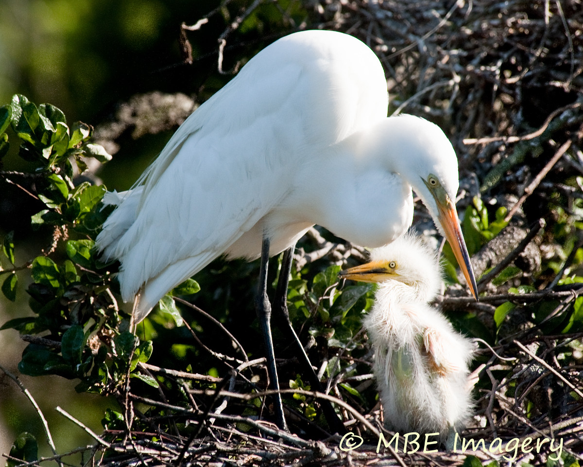 Egret with chick