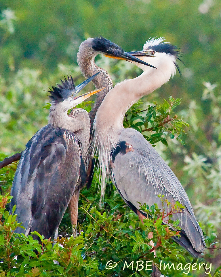 Heron with chicks, Venice Rookery