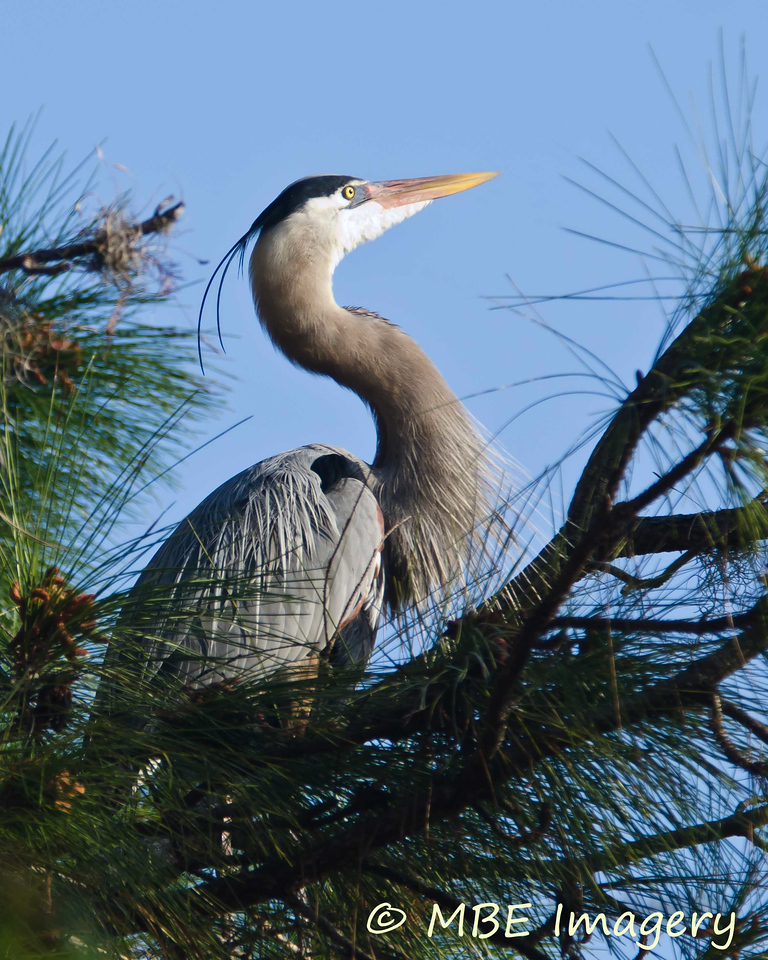 Heron on nest