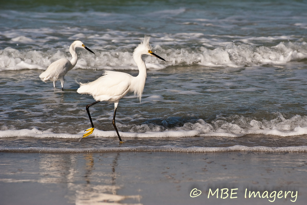 Egrets in surf