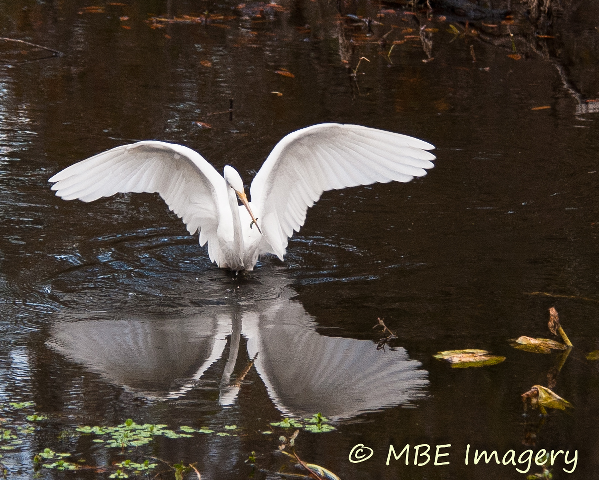 Egret with fish