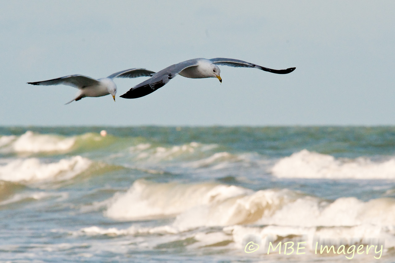 Gulls over surf