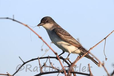 Eastern Kingbird gathering nesting material