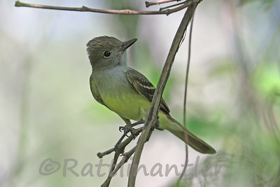 Great-Crested Flycatcher