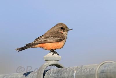 Vermilion Flycatcher ♀