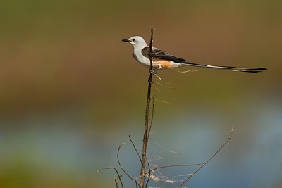 Scissor Tail Flycatcher