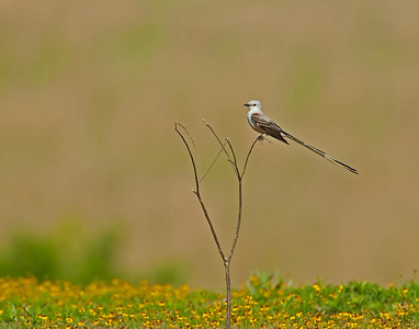 Scissor Tail Flycatcher, Wichita Mountains Wildlife Refuge, Oklahoma