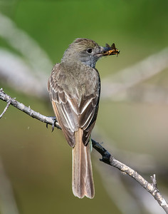 Great Crested Flycatcher, Wichita Mountains National Wildlife Refuge