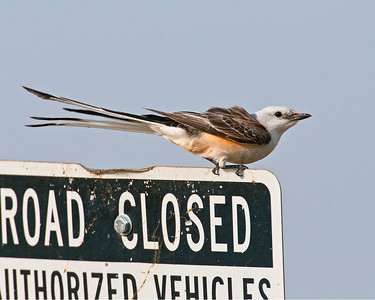 Scissor-tailed Flycatcher, Hackberry Flat Wildlife Management Area, OK
