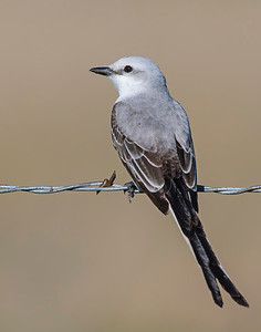 Scissortail Flycatcher, Hackberry Flats Wildlife Management Area, OK