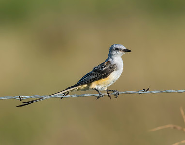 Scissor Tailed Flycatcher, Hackberry Flats Wildlife Management Area, OK