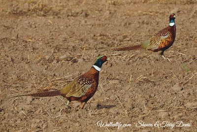 Pheasant Roosters