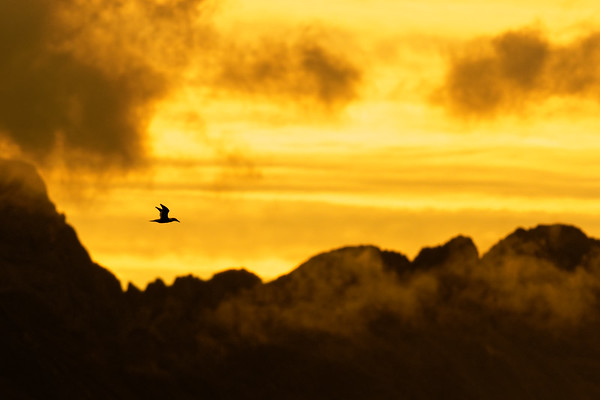 Gannet Over The Cuillins