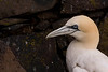 Gannet portrait and a wall