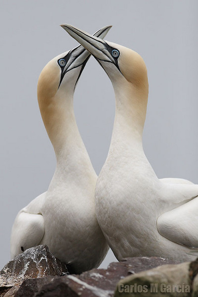 Gannets couple