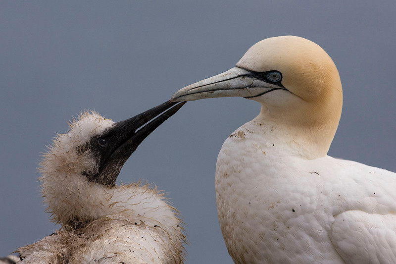 The image shows the strong dependence of the chick of a Gannet (Morus bassanus) and a moment on intimacy a rainy day of July at Bass Rock. 300mm lens on a tripod, slight rain.