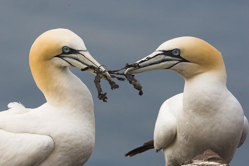 Compartiendo algas para el nido