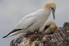 Gannet nest