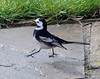 Pied Wagtail strutting his stuff!