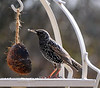 Starling (Sturnus vulgaris) in winter plumage