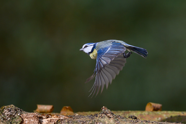 Blue tit in flight
