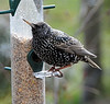 A rather well fed starling in winter plumage