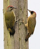 Green woodpeckers (Picus viridis), juvenile and adult