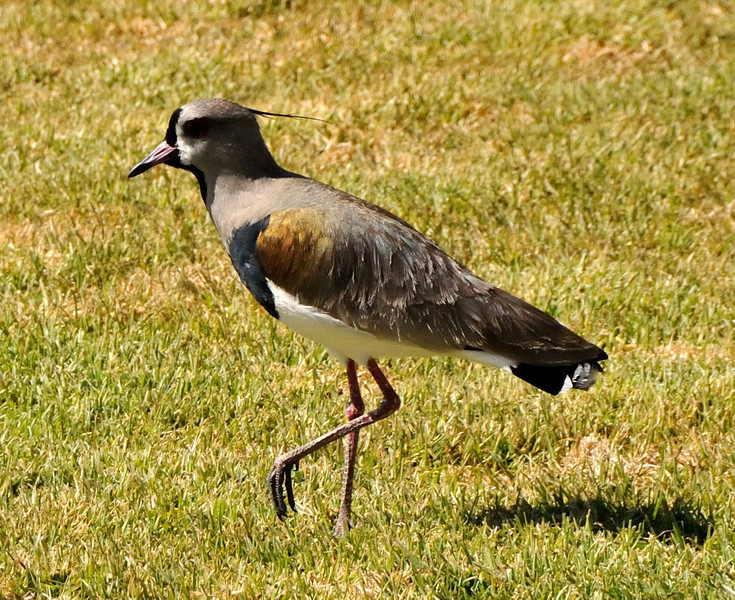South American Lapwing (Vanellus chilensis)
